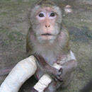 An injured baby monkey