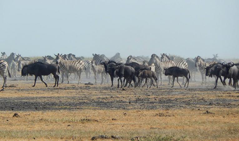 Herd of zebra in Botswana