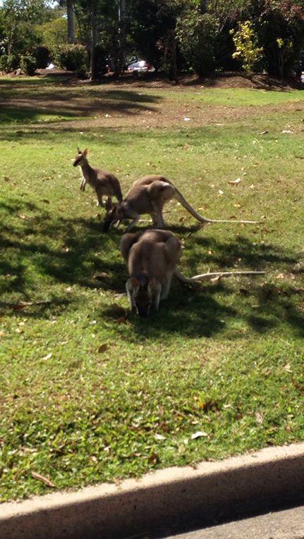 Wallabies in Queensland, Australia