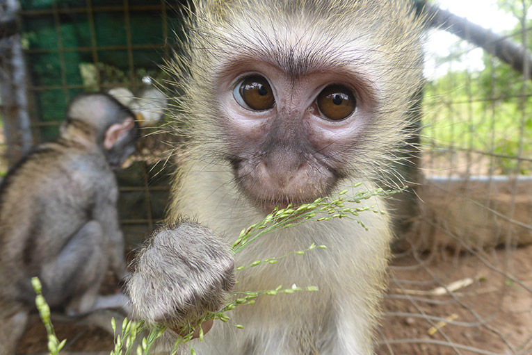 Orphaned Vervet Monkey in South Africa