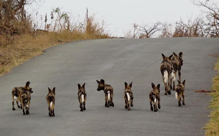 Wild dogs and their pups in South Africa