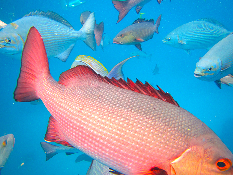 Fish along the Great Barrier Reef in Australia