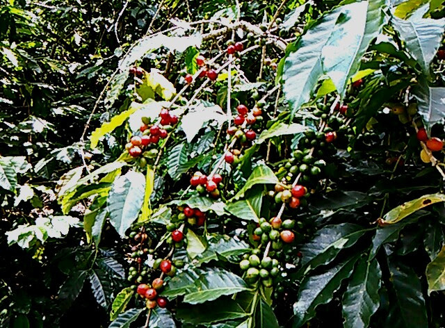 Coffee beans ready for harvest in Guatemala