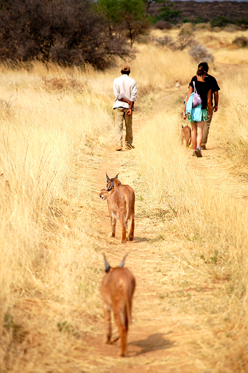 Girls walking with caracals in the African bush