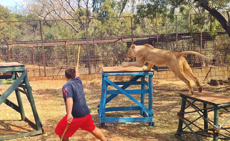 Volunteer plays with a lion in South Africa
