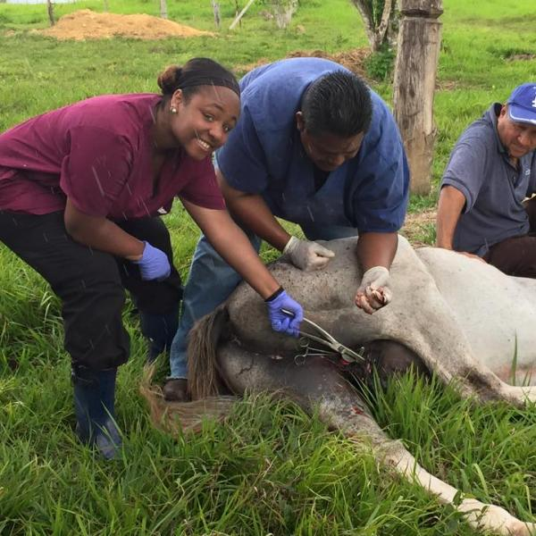vet tech students work with cattle on a farm