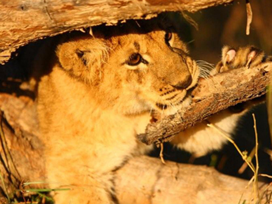 a lion cub playing on a branch