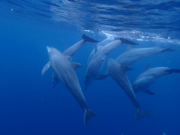 Dolphins synchronize swimming