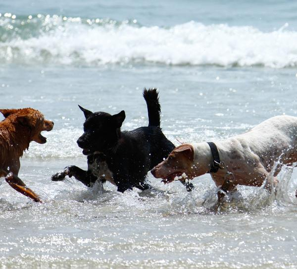 Rescue Paws kennel dogs playing in the Ocean