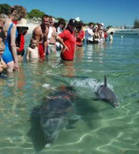 Volunteer with Dolphins in Australia | Travellersworldwide.com
