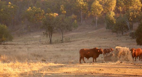 bull feeding at dusk