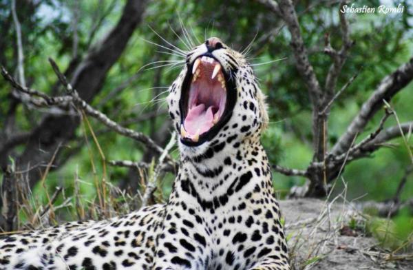 Leopard yawning at Wildlife Film School
