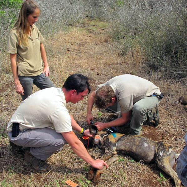 Collaring Wild Dogs