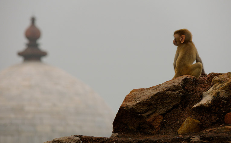 A monkey in the ruins of New Delhi's Tughlakabad.