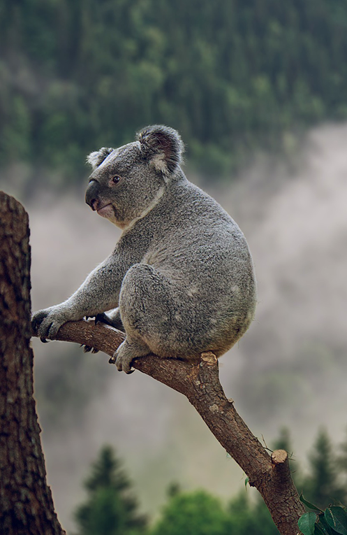 Koala bear perched on a branch