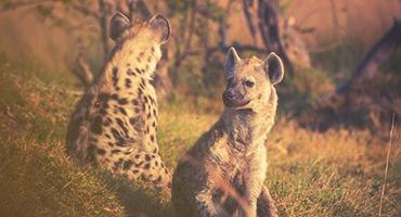 Hyenas in Africa