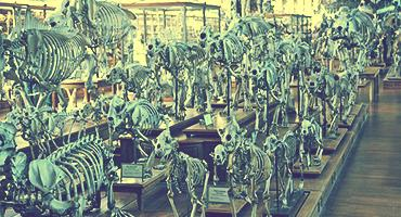 Animal skeletons in a museum