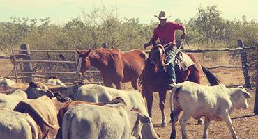 Farmer herding cattle