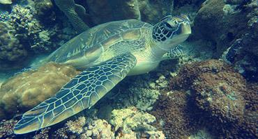Sea turtle, one of the endangered marine species