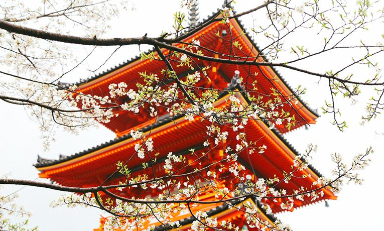 Sakura or cherry blossoms season.