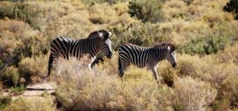 Zebra is the national animal of Botswana.