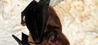 A bat resting in a cave in Yucatan.