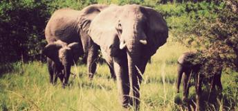 African Elephants, one of the many wildlife volunteers may find in Botswana