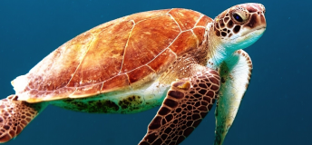 Sea turtle in the open water