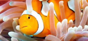 Clown fish in anemone in the Great Barrier Reef