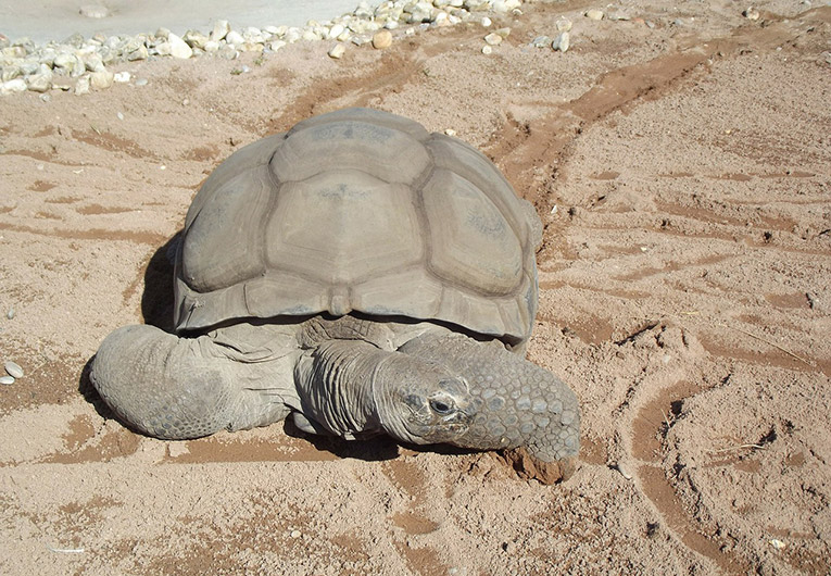 Aldabra tortoise in the Galapagos Islands